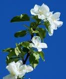 Fleur de pommier contre le ciel bleu Photos libres de droits