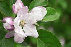 Fleur de pommier de plan rapproché Carte de voeux Fond de source Photos libres de droits