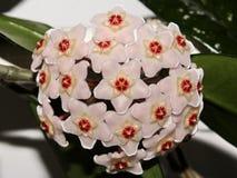 Fleur de porcelaine photographie stock