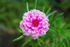 Fleur de Portulaca Photographie stock