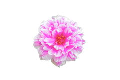 Fleur de Portulaca d'isolement Image stock