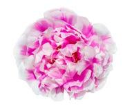 Fleur de Portulaca d'isolement sur le fond blanc avec le chemin de coupure photos libres de droits