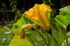 Fleur de potiron photographie stock