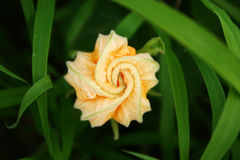 Fleur de potiron Photographie stock libre de droits