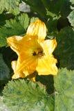 Fleur de potiron Images libres de droits