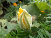 Fleur de potiron Photos stock