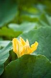 Fleur de potiron parmi les feuilles vertes images stock