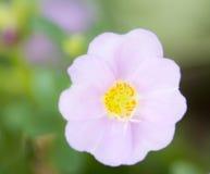 Fleur de pourpier commun images libres de droits