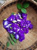 Fleur de pourpre d'Anchan Photos stock