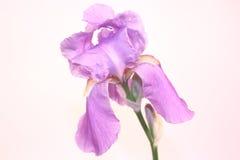 Fleur de pourpre d'iris Photos libres de droits