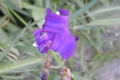 Fleur de pourpre d'iris images libres de droits
