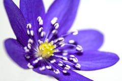 Fleur de pourpre de montagne de source Images libres de droits