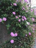 Fleur de pourpre de papillons Image libre de droits