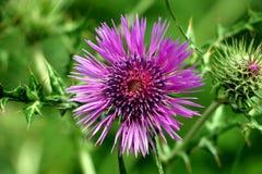 fleur de pourpre de ressort Photo stock