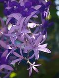 Fleur de pourpre de volubilis de Petrea Photos libres de droits