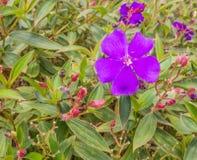 Fleur de pourpres avec les bourgeons et la feuille Images libres de droits