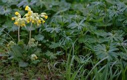 Fleur de primevère dans l'envirement vert Photos libres de droits