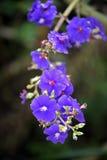 Fleur de princesse de Siilverleafed sur le vert de la forêt photographie stock libre de droits