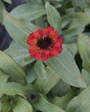 Fleur de profusion de Zinnia d'orange rougeâtre de vue de plan rapproché photographie stock
