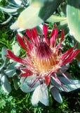 Fleur de Protea Images stock
