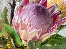 Fleur de Protea, Protea Eximia d'aka Image stock