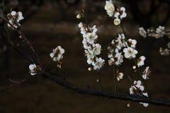 Fleur de prune Photos libres de droits
