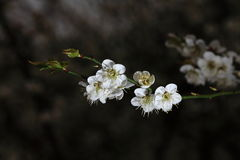 Fleur de prune Photos stock