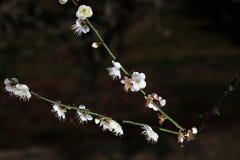 Fleur de prune Images stock