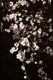 Fleur de prune Photographie stock