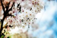 Fleur de prune Images libres de droits