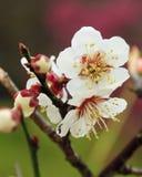 Fleur de prune dans le printemps Images libres de droits