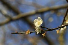 Fleur de prune sous le ciel bleu, Taïwan Images stock
