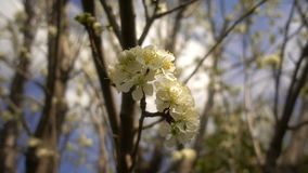 Fleur de prune sur l'arbre en nature banque de vidéos