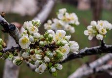 Fleur de prune un jour pluvieux au printemps Photos stock