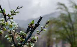 Fleur de prune un jour pluvieux au printemps Image stock