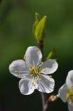 Fleur de pruneaux Images libres de droits