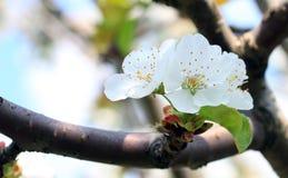 Fleur de prunellier Image stock