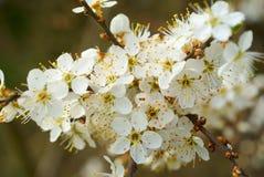 Fleur de prunellier Photographie stock