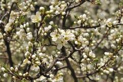 Fleur de prunellier Photo stock