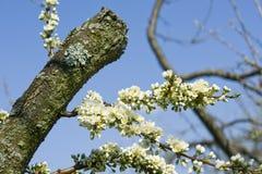 Fleur de prunier Images libres de droits