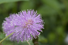 Fleur de pudica de mimosa Image libre de droits