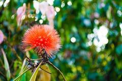 Fleur de pudica de mimosa sur la forêt image libre de droits