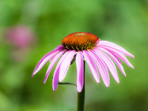 Fleur de purpurea d'Echinacea Photographie stock libre de droits