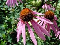 Fleur de purpurea d'Echinacea Photos stock