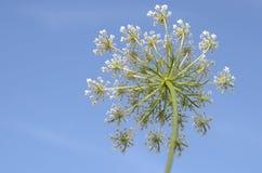 Fleur de raccord en caoutchouc sauvage Image libre de droits