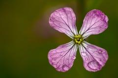 Fleur de radis sauvage couverte en rosée images libres de droits