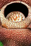 Fleur de fleur de Rafflesia Images stock