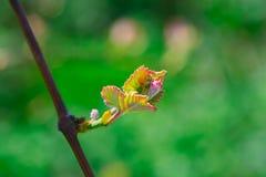 Fleur de raisin Photo stock