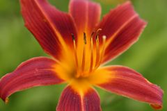 Fleur de rayon de soleil image stock