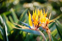 Fleur de reginae de Strelitzia Photo stock